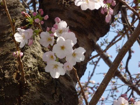20090405_桜.jpg