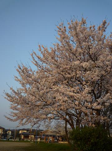 20090411_桜.jpg