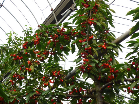Cherry01.jpg
