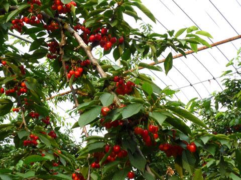 Cherry02.jpg