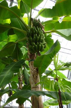 FlowerCenter_Banana.jpg