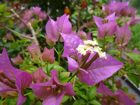 FlowerCenter_Bougainvillea.jpg