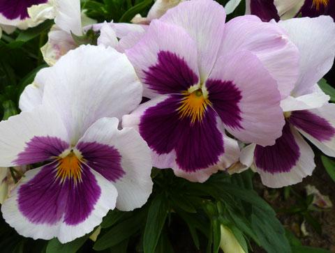 FlowerCenter_Pansy.jpg