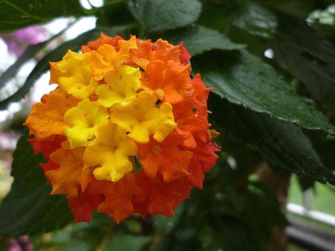 FlowerCenter_lantana.jpg
