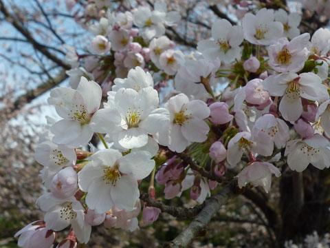 20100502Kubozakura_4.jpg